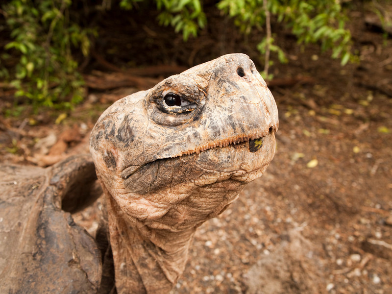 A portrait of a giant tortoise (geochelone elephantopus) on Isabel Island in the Galapagos Islands of Ecuador. This endangered species of the reptile family is a herbivore.