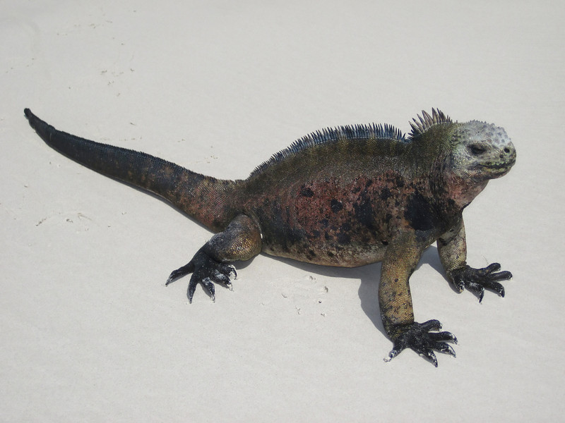 A marine iguana resting after moving on a white, sand beach.