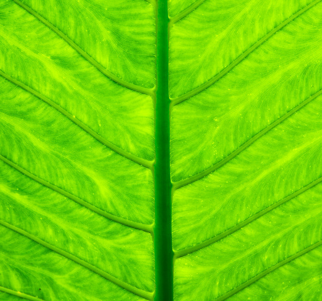The bottom of a large tropical plant leaf looking up towards the sky provide an even illumination of the radial pattern formed from the veins.