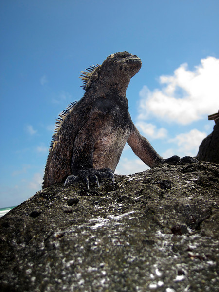 A single marine iguana (amblyrhyncus cristatus) that is basking in the sun is virtually silhouetted against the sky. These reptiles are an endemic species to the Galapagos Islands in Ecuador.