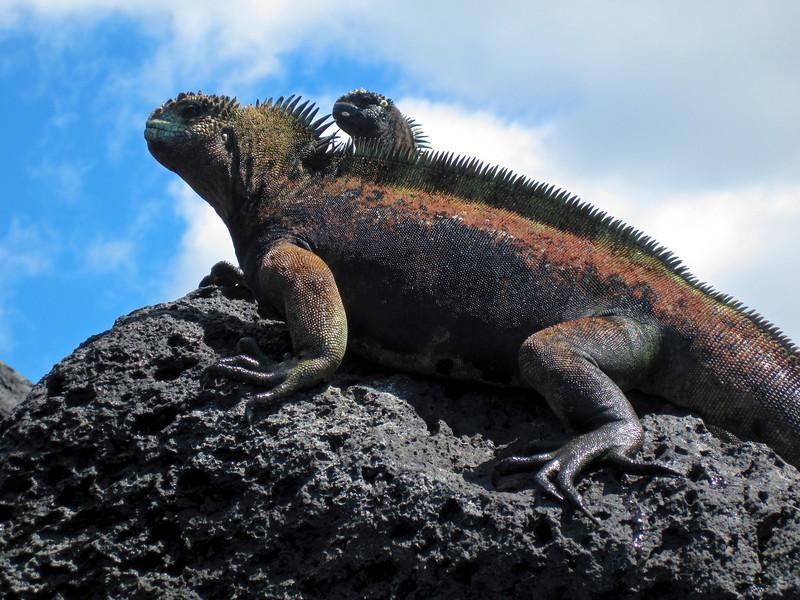 A male and female marine iguana (amblyrhyncus cristatus) basking on a rock on San Cristobal Island on the Galapagos in Ecuador.