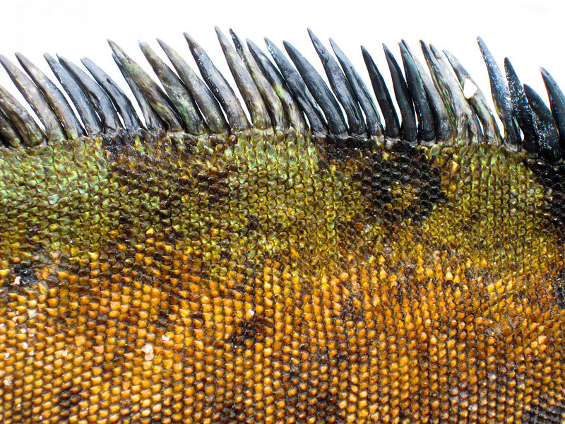 A detail close-up view of the back and spine of a sleeping marine iguana showing the scales and camouflage pattern. The spikes are isolated against a white background.