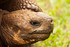 A close-up of the head, eyes, and other features of a male giant tortoise (geochelone elaphantopus) on the Galapagos Islands.