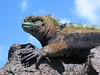 A marine iguana (amblyrhyncus cristatus) on a rock is outlined against the sky. The colors are particular to males in the breeding season. This species of reptile is endemic to the Galapagos Islands of Ecuador.