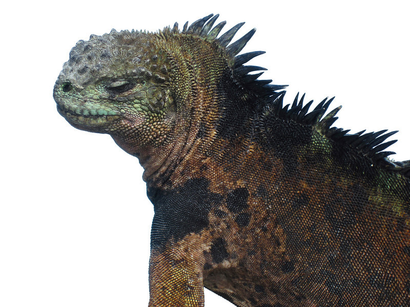 The profile of a male marine iguana (amblyrhyncus; cristatus) on the Galapagos Islands. The characteristic mottled scales are indicative of a mature male in breeding season. Isolated to a white background.