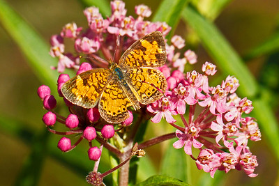 A northern crescent butterfly