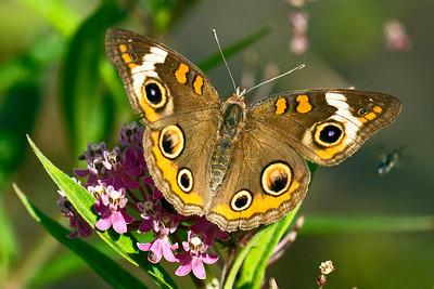 A buckeye butterfly