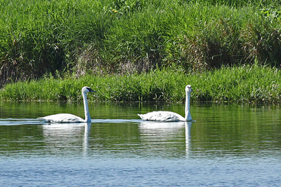 Two trumpet swans