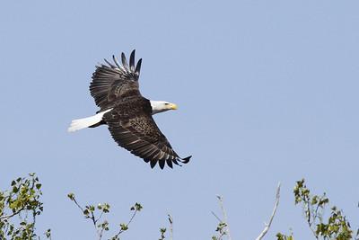 Bald Eagles Near Lake St. Clair