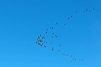 Migrating birds high in the sky
