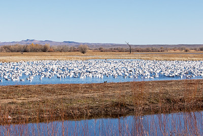 "Snow Goose at ""Bosque del Apache National Wildlife Refuge"""