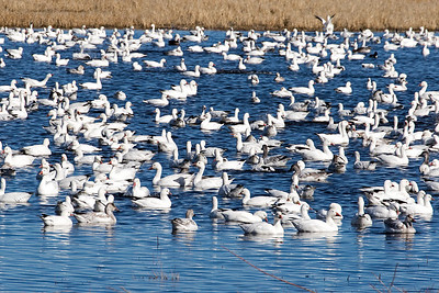 These snow Goose have migrated from the Arctic to New Mexico