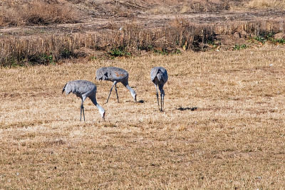 This Wildlife Refuge also is home for migrating Sandhill Cranes
