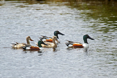 Three males and two female northern shoveller ducks