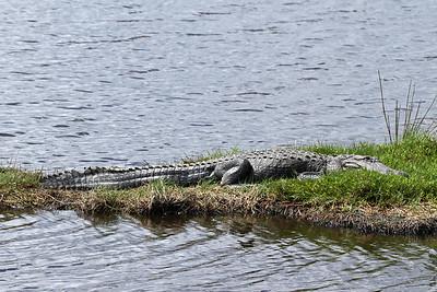 A sleepy alligator