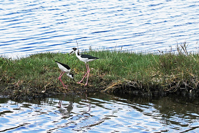 "Two ""black-necked stilts"""