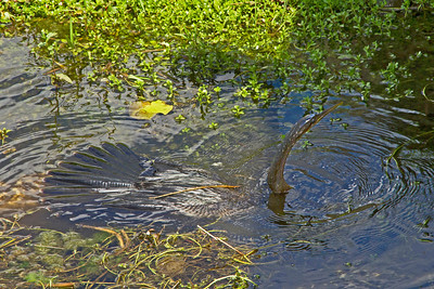 An anhinga in the swamp out for a swim