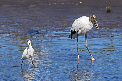 A Snowy Egret and a Wood Stork both looking for food