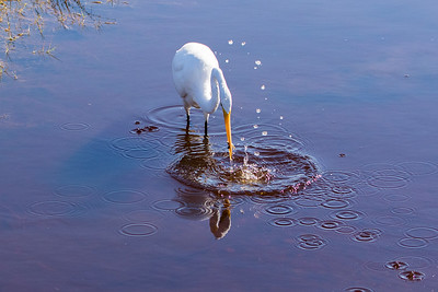 A Great Egret and his catch