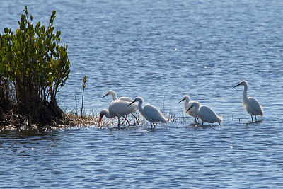 A White Ibis and five Snowy Egtrets