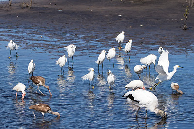 A hunting party - 13 Snowy Egrets, 6 White Ibis, and one Wood Stork