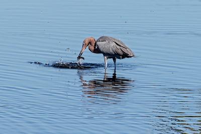 Reddish Egret and his catch