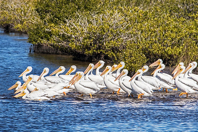 White Pelicans walking to deeper water