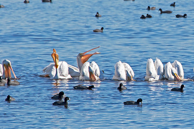 These White Pelicans are very busy feeding themselves
