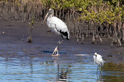 A Wood Stork and a Snowy Egret