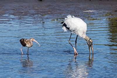 A juvenile White Ibis and Wood Stork