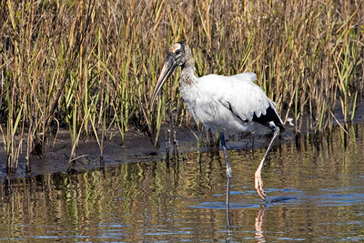 A Wood Stork looking for food