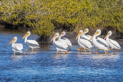 White Pelicans marching in the marsh