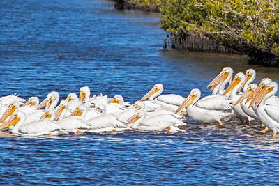 A large gathering of White Pelicans heading to deeper water