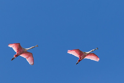 Above us fly two Roseate Spoonbills