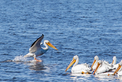 White Pelican joining the group