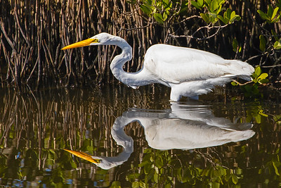 A Great Egret on the hunt for fish