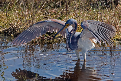 A Tricolred Heron using canopy feeding tehnique