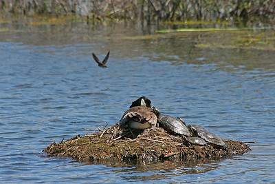 A Canada goose and four turtles settling together in Ganatchio Trail pond