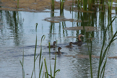 A family of pied-billed grebes in a Ganatchio pond