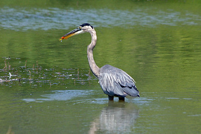 Heron has caught a goldfish that's been discarded in the pond