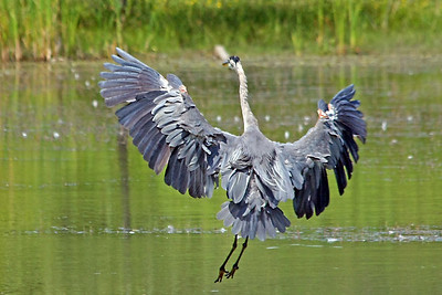 Getting ready to land in pond