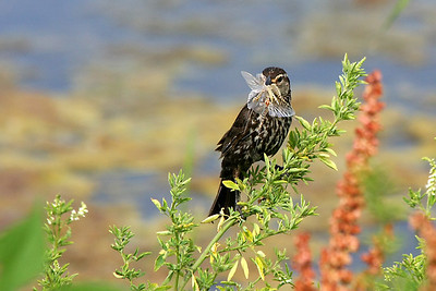 A female red-winged blackbird has captured dragonflies