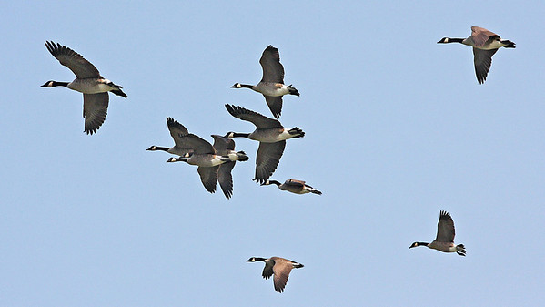 Ganada Geese in flight