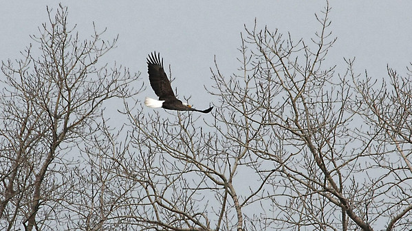 Bald Eagle in east Windsor flying near her nest
