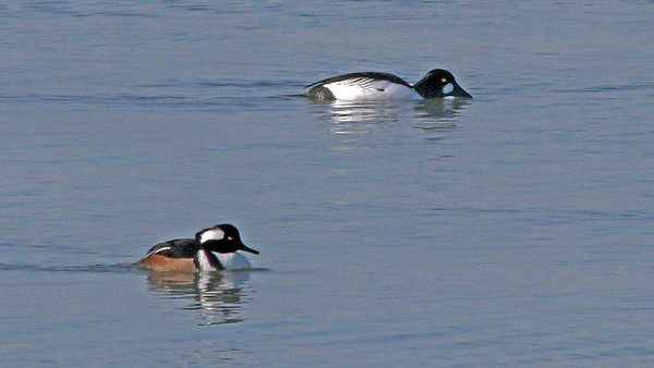 males - Hooded Merganser and Commom Golden Eye