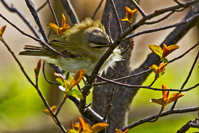 A Red-eyed Vireo. Bad feather day?