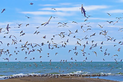 Hundreds of shore birds have arrived at Pelee's tip