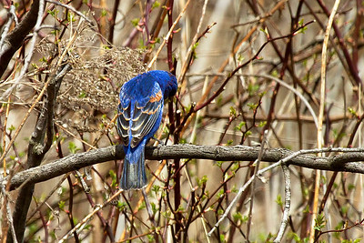 A male Blue Grosbeak