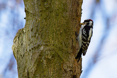 Downy Woodpecker removing wood chips from home