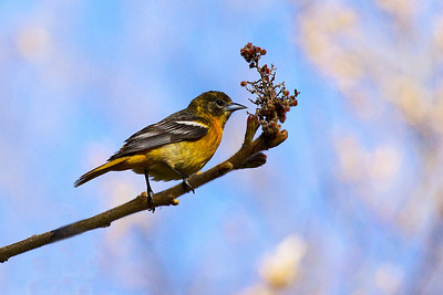 1st spring male Baltimore Oriole